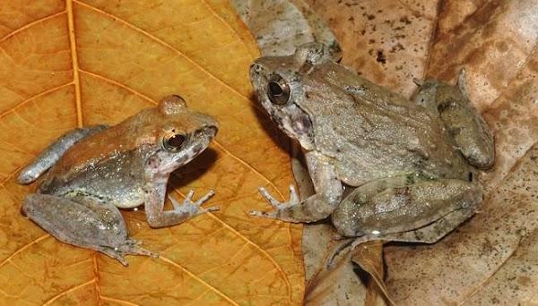 Limnonectes-larvaepartus.jpg