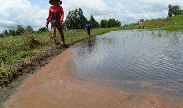 Drought is causing saline water to intrude into rice fields in Rach Gia City, Kien Giang Province in the Mekong Delta, Vietnam, during the summer of 2015. Photo: Tuoi Tre News
