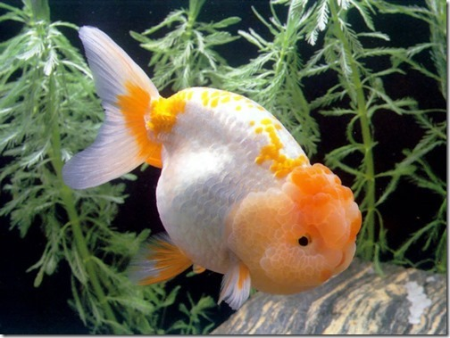 ca-vang-gold-fish-ranchu,chinese,japanese,white,reb,black (17)