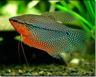 be-ca-canh-pearl_gourami_casactranchau003-be-thuy-sinh