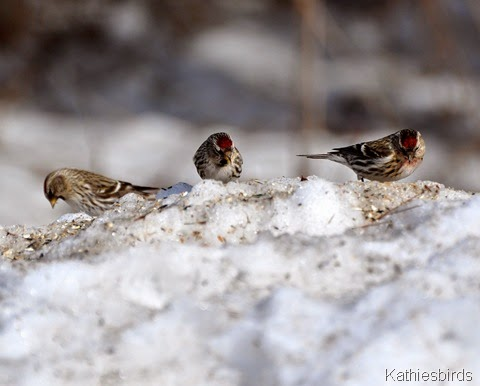 9. common redpolls-kab