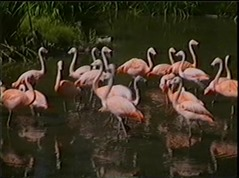 1998.06.23-007 flamants