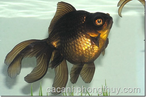 Black_Moor_Goldfish