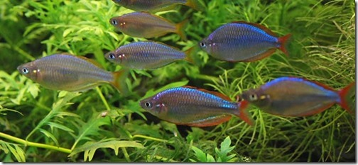 be-ca-canh-dwarf_rainbowfish_Neon_rainbowfish_cathienthanh002-be-thuy-sinh