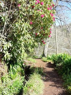 Laurier en fleur sur la levada da Serra