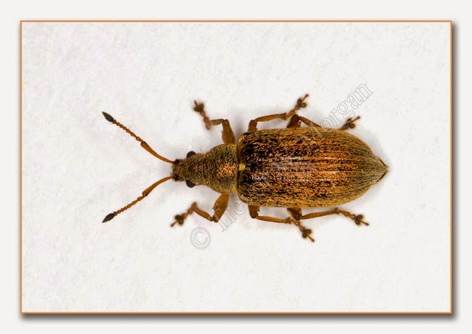 Weevil - Common Leaf  2