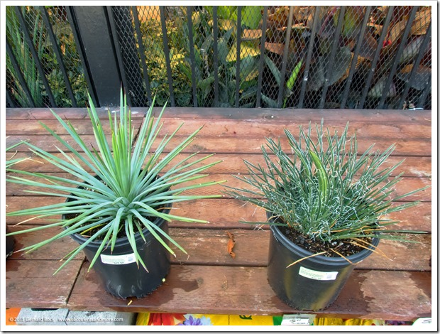 Surprising agave sightings at Home Depot