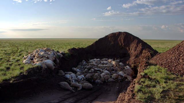 The bodies of endangered saiga antelopes are buried in a pit. Scientists now estimate that at least 211,000 saiga antelopes — 88 percent of the Betpak-dala population in Kazakhstan and more than half of the species — died in May 2015. Photo: Sergei Khomenko / FAO
