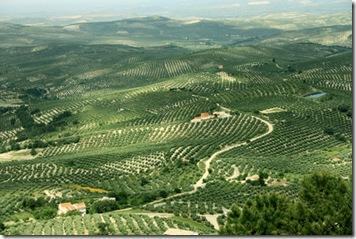 Olivares en el valle del Guadalquivir