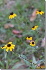 Black Eyed Susans-1
