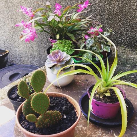 Succulent, Suculentas, Suculenta, jardim, como criar