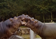 Coucy-les-Eppes hippopotames
