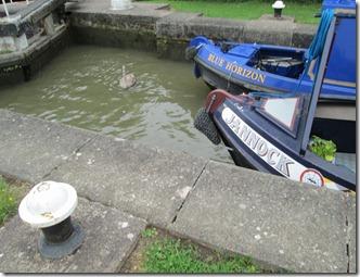 swan in lock
