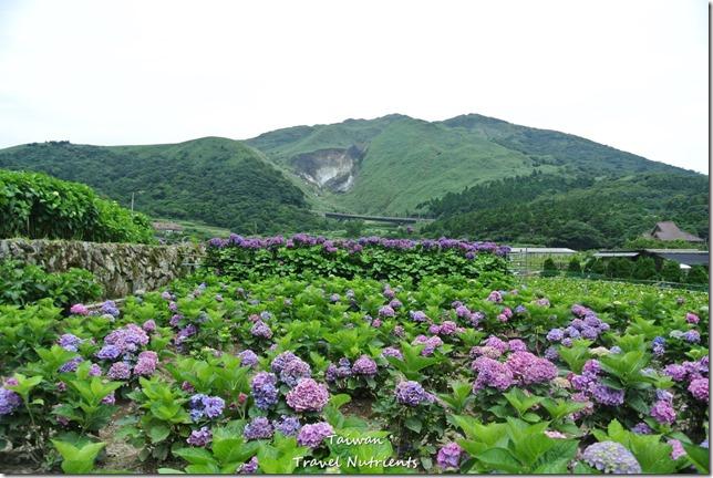 陽明山繡球花 (20)
