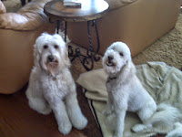 Gorgeousdoodles family love dog live in NY.