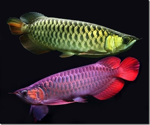 be-ca-canh-silver_asian_arowana_cathanhlong001-be-thuy-sinh