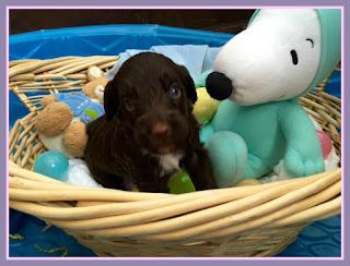 Puppies,labradoodle, gorgeousdoodles.