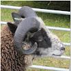 Sheep09.jpg