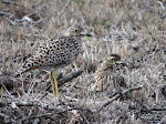 Spotted thick-knee at Mkhuze Game Reserve (photo by Clare)