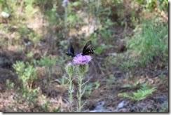 Butterflies on Thistle 2