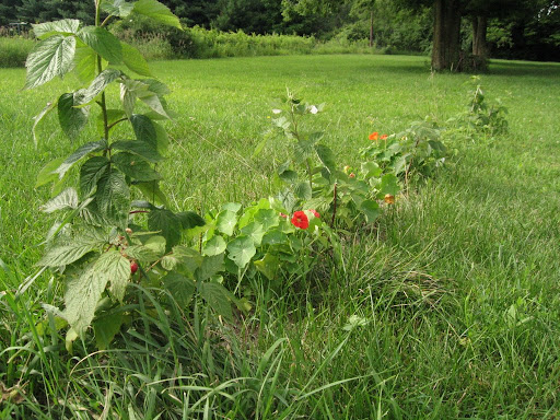 raspberry row  and nasturtiums
