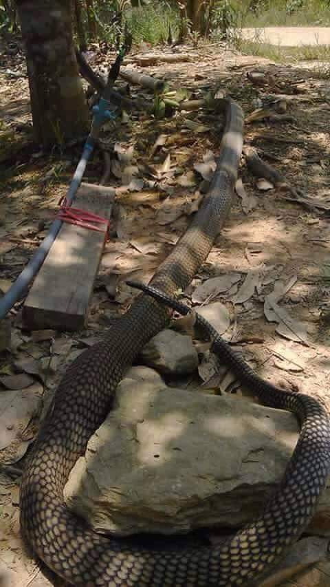 Image of King cobra is one of the world's longest venomous snake, with a length from 18.5 up to 18.8 ft (5.6 to 5.7 m). But images like these could be fake, just another social media hype. However, whoever took these photos can only be the sole person to prove its authenticity.