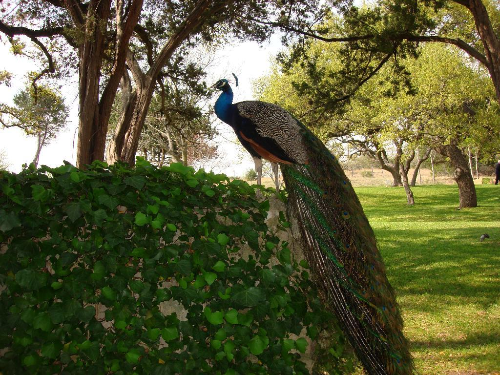 Green with Blue Peacock