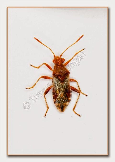 Bug 7 Scent