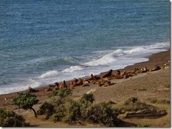 colonie d'otaries où se nourrisent les orques