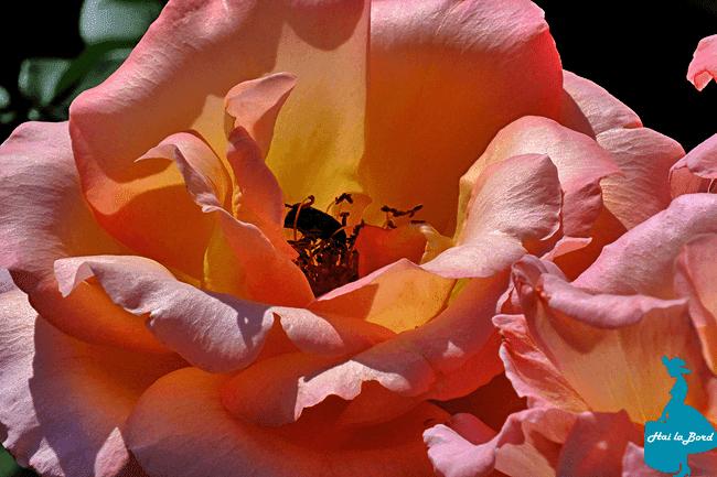 trandafir gradina botanica cluj vara