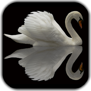 Swan Video Live Wallpaper
