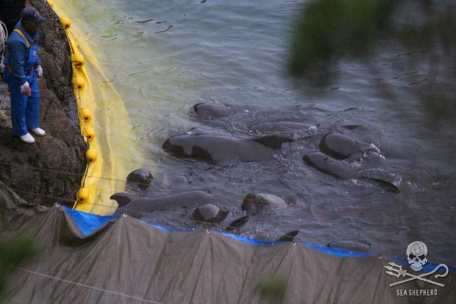 A pod of pilot whales was driven into the infamous Taiji killing cove on 19 November 2015 was traumatized and held without food or shelter for three days. One was later taken captive, the remainder were killed or dumped at sea. Blood is visible on a killer's gloves as he looks down at the pod. Photo: Sea Shepherd