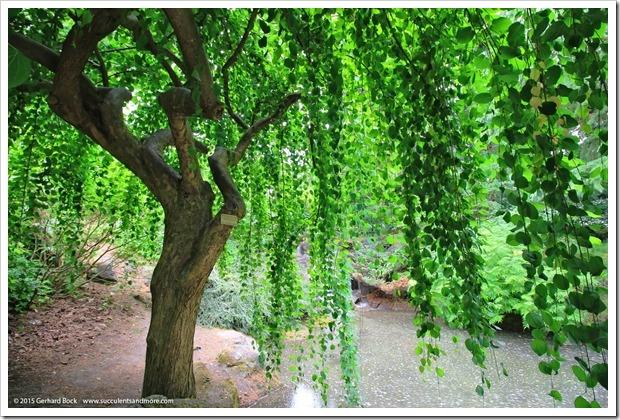 150628_Vancouver_VandusenBG_0079_Cercidiphyllum-japonicum-f.-pendulum