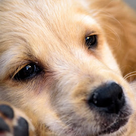 Puppy by Bill Frische - Animals - Dogs Puppies ( retriever, puppy, gold, nose, small, golden )