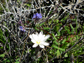 White Desert Chicory flower