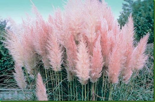 Pampa Grass Rosa