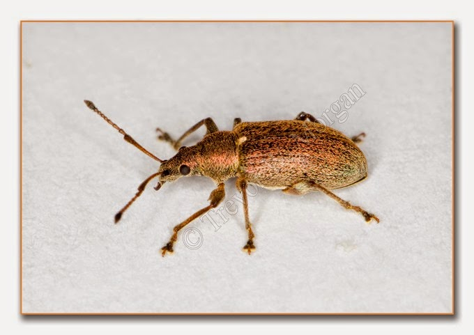 Weevil - Common Leaf  1