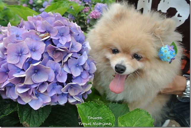 陽明山繡球花 (28)