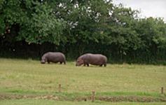 2000.06.12-136.15 hippopotames