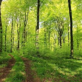 Morgenlys i bøgeskoven. by Ove Andersen - Landscapes Forests