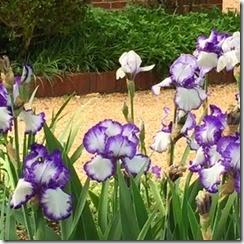 Yorktown irises