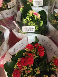 Kalanchoe from Holland