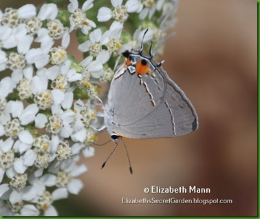 01-hairstreak
