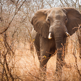 African elephant by Wim Moons - Animals Other Mammals