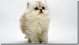 77- gatos blanco o crema (3)- buscoimagenes