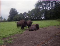 1981.07.12-020.04 bisons