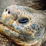 Tartaruga gigante - Estação Darwin- Puerto Ayora, Santa Cruz - Galápagos, Equador
