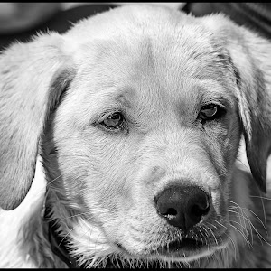 Yellow Lab-32.jpg