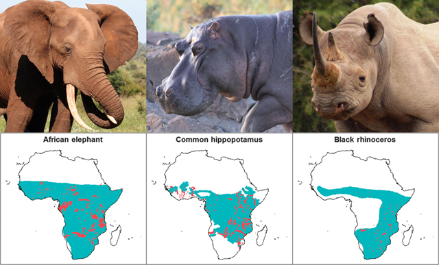 Range contractions over time for three iconic African herbivores. African elephant (ca. 1600 versus 2008), common hippopotamus (ca. 1959 versus 2008), and black rhinoceros (ca. 1700 versus 1987). The historical ranges are in blue, whereas the most recent ranges are represented by darker-colored polygons. Photo: K. Everatt (Elephant and hippopotamus) / G. Kerley (rhinoceros)