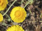 Desert Marigold 4/12